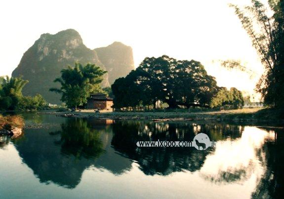 桂林阳朔的大榕树