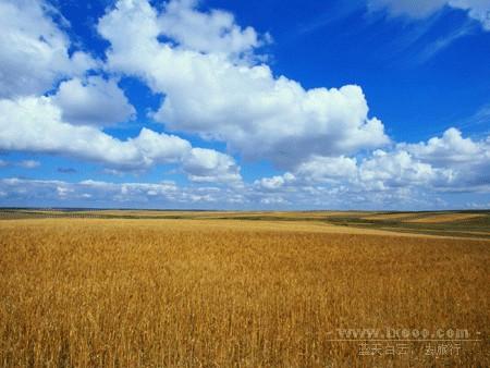 金灿灿的麦田