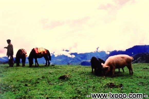高山海子牧场上的随意走动的家猪 @ 四川雅安硗碛彭措
