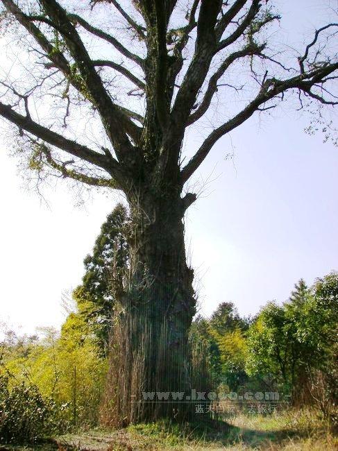 木瓜寺古老的银杏树