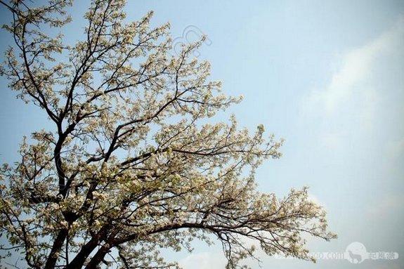 一树梨花,灿烂,绝尘