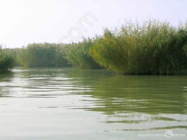 沙湖的芦苇