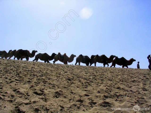 沙湖骆驼队