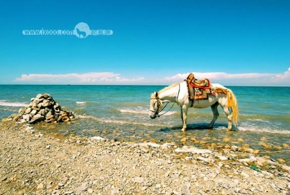 青海湖畔的白马