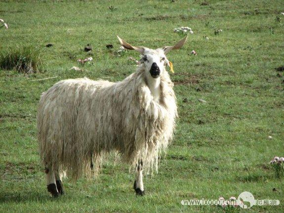 迷路的羔羊