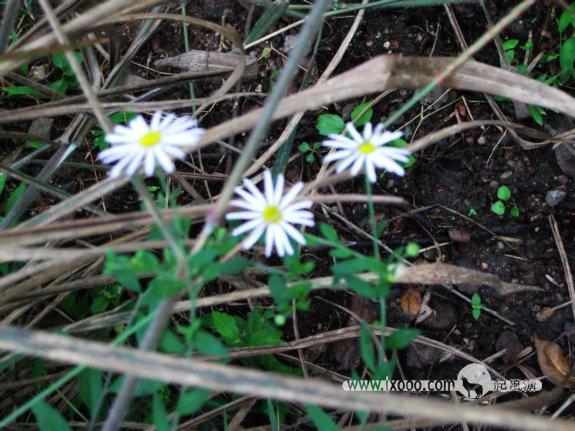 丹霞山高草湿地里的野菊花