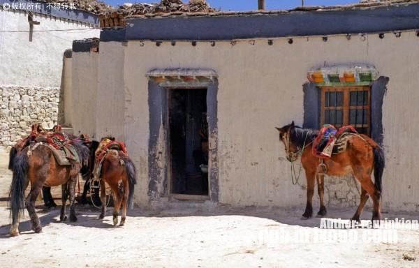 西藏民居门前的马