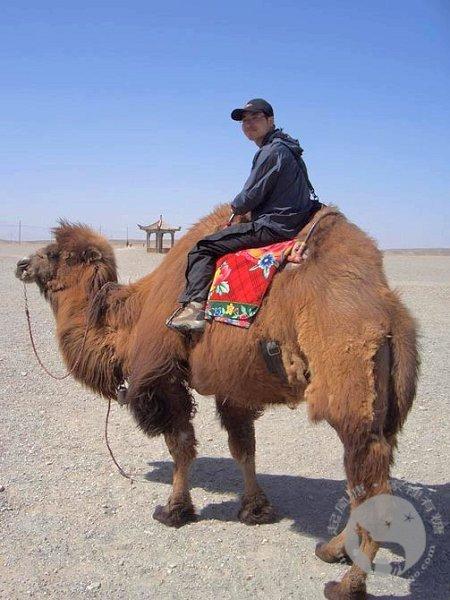 嘉峪关外的骆驼