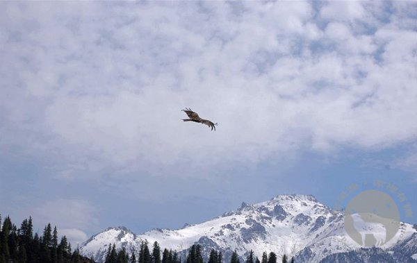 天山上的鹰