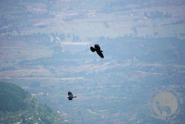 少室山上飞翔的鹞鹰
