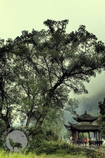 婺源的亭子与树