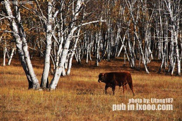 树林前的牛犊……坝上草原