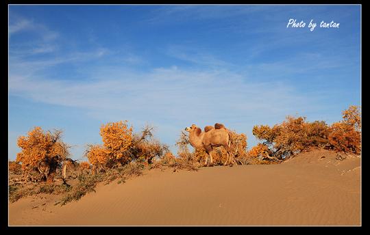 额济纳的骆驼·内蒙古