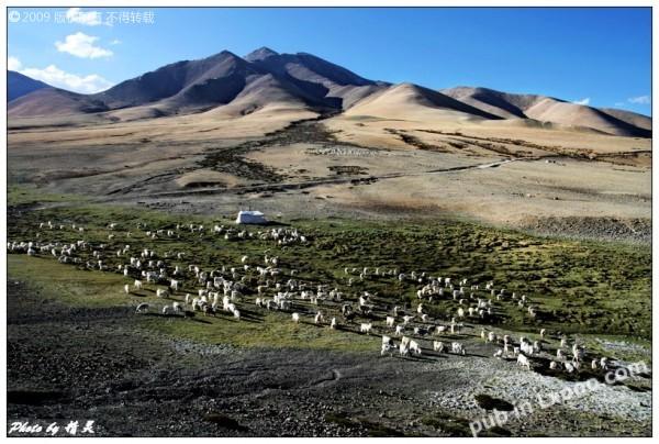 西藏的羊群