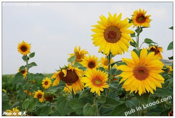 坝上的向日葵