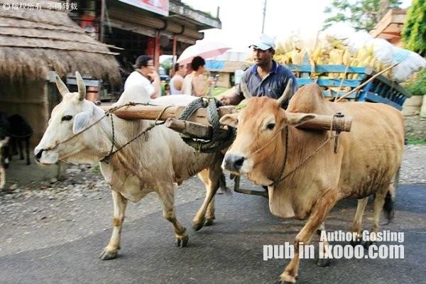 尼泊尔奇特旺街上路过的牛车