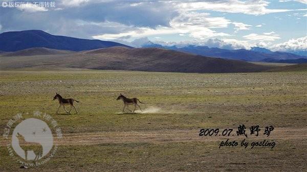 西藏的野驴