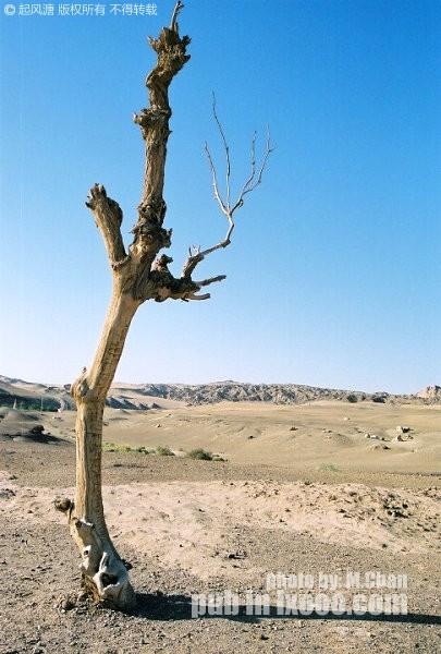 戈壁沙漠上枯萎的胡杨树干@敦煌