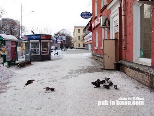 布市街边觅食的鸽子