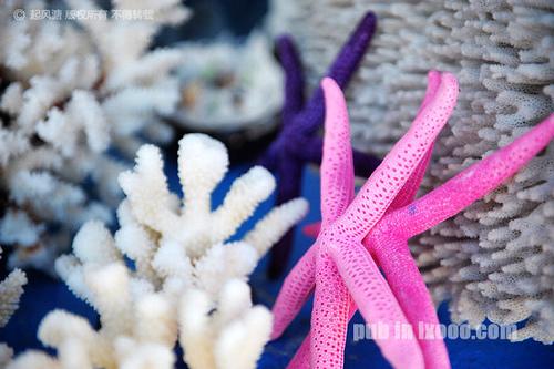 红海湾遮浪半岛上的粉红色海星