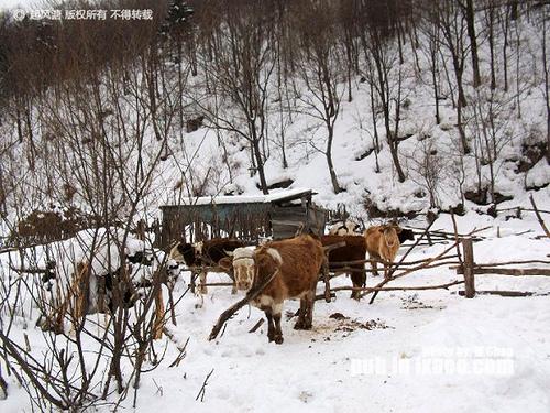 东升林场附近雪地上的老黄牛