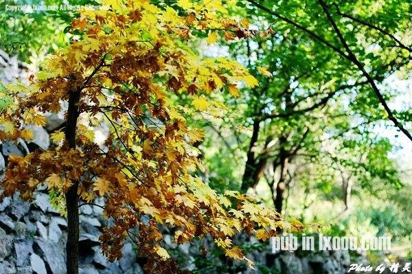 唯一的一棵黄黄的树