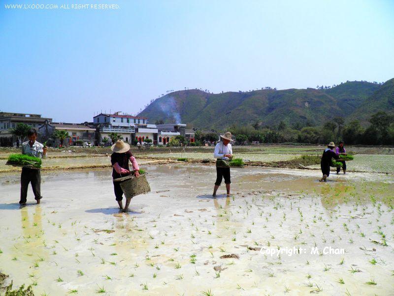 水稻插秧作业中的梅陇镇马福垄村村民
