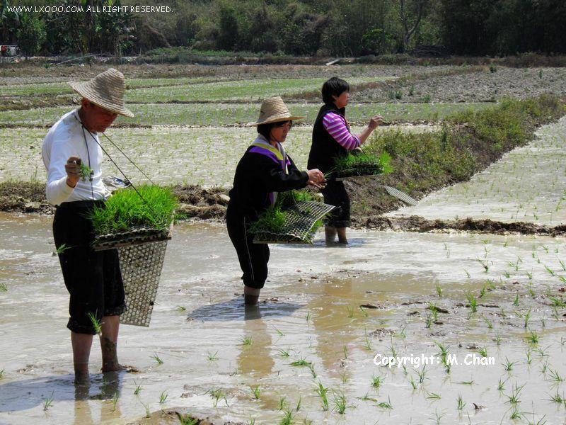 水稻插秧作业中的农民