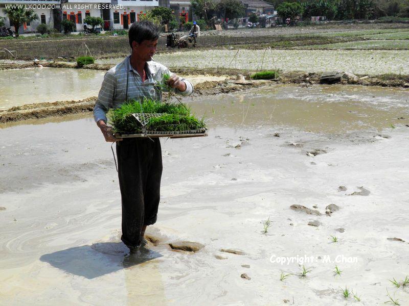 水稻种植插秧作业中的农民