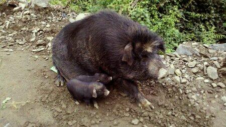 据说它们叫藏香猪