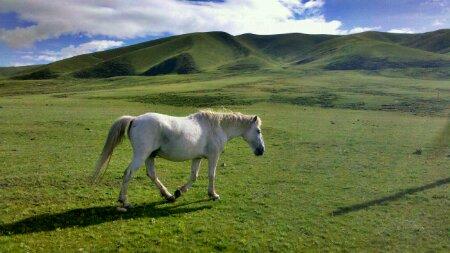 毛垭草原上的白马
