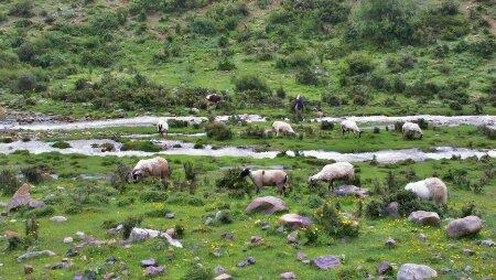 东达山脚的羊群