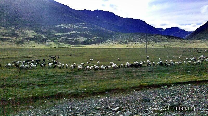 安久拉山垭口的羊群